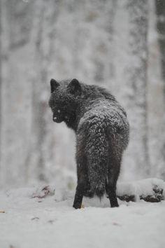 "worldofwolvesofficial: "" From Lakota Wolf Preserve "" Wolf Spirit, Spirit Animal, Wildlife Photography, Animal Photography, Beautiful Creatures, Animals Beautiful, Wolf Hybrid, Wolf World, Beautiful Wolves"