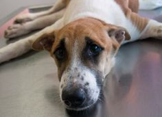 Phuket's roads can be a dangerous place for the street dog population on the island. Another dog recently came to the clinic after becoming the victim of a road accident. Ting is only six months old and was recently hit on the main highway that runs down the middle of Phuket. https://www.facebook.com/SoiDogPageInEnglish/photos/a.686196491422089.1073742779.108625789179165/686196608088744/?type=1&theater
