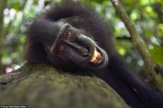 Happy as Larry: Life seems to be a breeze for the black crested macaques that hang out in Tangkoko National Park