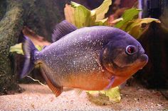 Red-Bellied Piranha | knew picking up red-bellied piranhas—among the few piranhas ...