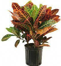 9 Best Croton plant images in 2016   Crotons plants, Outdoor plants