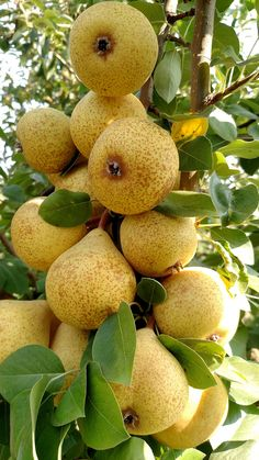 Cider made from perry pears is delicious. It rivals apple cider, but is sweeter. Fruit Plants, Fruit Garden, Fruit Trees, Fruit And Veg, Fruits And Vegetables, Fresh Fruit, Pear Fruit, Fresh Ginger, Craft Cider