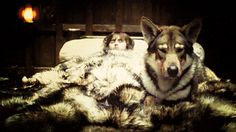 Northern Inuit dogs used in Game of Thrones because they look like wolves. WANT
