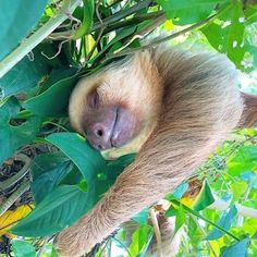 Pictures Of Sloths, Cute Sloth Pictures, Animal Pictures, Sloth Photos, Happy Animals, Animals And Pets, Funny Animals, Wild Animals, Cute Baby Sloths