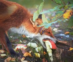 Red Fox and Magpie in Autumn, by Niko Pekonen