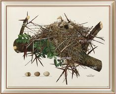 Bird Nest Eggs Print 5 Beautiful 8X10 Antique Art by PictureHome