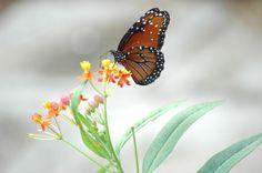 """Afternoon Snack"" - Monarch Butterfly and Milkweed - Steve Hoffacker - http://stevehoffacker.com"