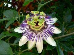 The Passion flower is an unusual flower which grows on the Passiflora Incarnata, and deserves special attention. Growing as big as 3.5 inches across, the passion flower has a unique structure which is bound to put you in awe. These unusual flowers look like a sun as was painted in the olden days but are purple instead of yellow!