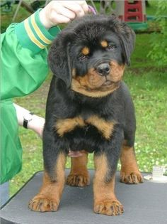 Rottweiler-- cutest puppies ever..:) good looking dogs too... i want one so bad... another