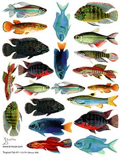 Tropical Fish Pictures Fish tropical fish 287x375