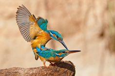 Mating Kingfishers by Evzen Takac.