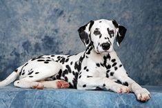 #dalmatian