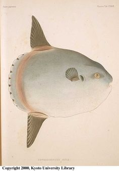 """Orthagoriscus Mola now called Mola mola - the Sunfish from: Kyoto University """"Fauna Japonica. Pisces"""" [474/509]"""