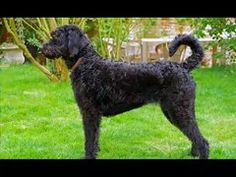 A Labradoodle is a crossbreed dog created by crossing the Labrador retriever and the Standard, Medium, or Miniature poodle. Black Labradoodle, Dog Crossbreeds, Mastiff Mix, Dogs For Sale, Irish Setter, Mixed Breed, Animal Pictures, Dog Breeds, Cute Dogs