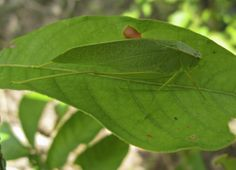 Perched on an Inga leaf, this bug is not only just the right shade of green to blend in but even has vein patterns like those of a leaf.
