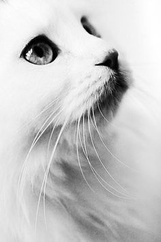 White cats are beautiful photos) - all about cats - Katzen Pretty Cats, Beautiful Cats, Animals Beautiful, Pretty Kitty, Beautiful Creatures, Gorgeous Eyes, Beautiful Pictures, Crazy Cat Lady, Crazy Cats