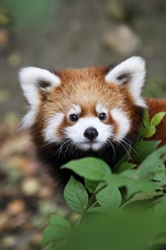 #Pandarojo #Redpanda #Animales #Animals