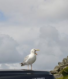 Picture of a sea gull singing.