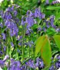 Nutans (English Blue Bells)
