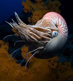 Nautiluses are the sole living cephalopods whose bony body structure is externalized as a shell. The animal can withdraw completely into its shell and close the opening with a leathery hood formed from two specially folded tentacles.