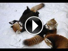 Des pandas roux jouent dans la neige #panda #mignon #cute