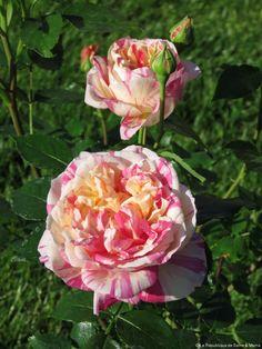 rose Julie Andrieu
