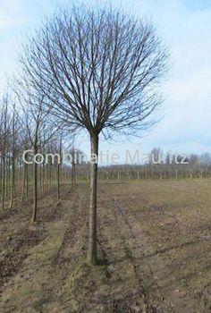 Prunus x eminens (wiśnia osobliwa) 'Umbraculifera' - zimą