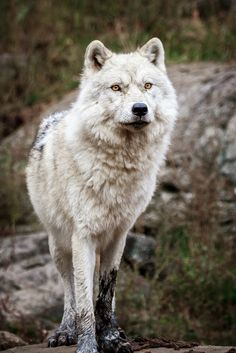Arctic Wolf by numa crouzet on 500px*