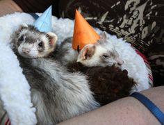 Ferrets. In Birthday hats.  https://www.pinterest.com/pin/461056080575704899/