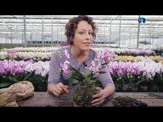 KOKEDAMA de orquídeas: passo a passo super fácil - YouTube