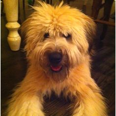 Soft Coated Wheaten Terriers are the best