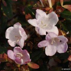Abelia Petite Garden Minedward