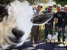 Cubs Fans Walking 1,900 Miles With Goat To Fight Cancer, End Curse