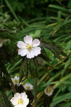 Podophyllum | Perennial