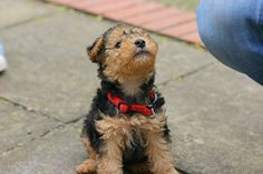 lakeland terrier puppy : )