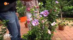 Hibiskus im Garten – Tipps zu Sorten, Pflege, Rückschnitt & Vermehren vom Garten-Profi