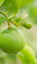 Lime Essential Oil can help ease the pain of toothaches, and it strengthens the gums and teeth. It can help treat colon, urinary, and kidney infections. Lime essential oil protects the body from the viral infections that cause measles, chicken pox, mumps, and the common cold. It activates the secretion of digestive juices, so it is an aperitif or appetizer.