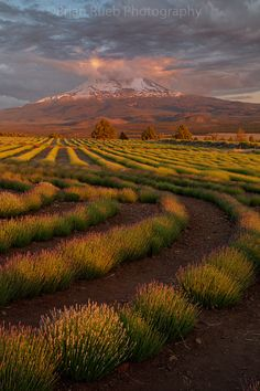 Mt. Shasta Lavender Farms, Mt. Shasta, California by Brian Rueb Photography