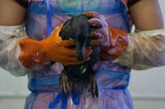 "When it comes to oil spills, it's not ""If"", it's ""When?"" and ""How big?"". Since 1995 there have been more than 75 oil spills that have threatened California's wildlife, including sea otters.     These spills often require volunteers, but you need to be trained beforehand. Find out more about how you can be prepared to help wildlife during an oil spill.    http://www.vetmed.ucdavis.edu/owcn/volunteer_info/pretrained_volunteers.cfm"