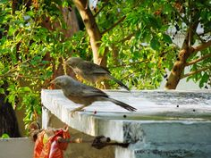 Yellow-billed babbler (Turdoides affinis). White-headed babbler. - at Mettupalayam, Coimbatore.