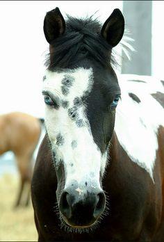 Pintaloosa horse...those eyes!