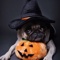 Cute pug ready for Halloween! Because of Hannah Troxal and Kaitlin Beigel, I have to repin ALL the pugs!