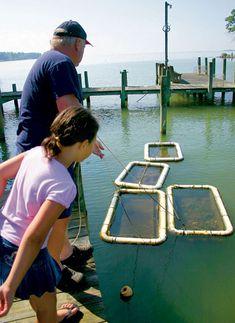 Raising backyard Oysters