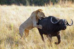 Africa    Lion going in for the kill. Duba Plains, Okavango Delta, Botswana    © Michael Poliza.