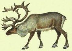 Image result for северный олень