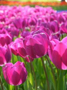 İstanbulda lale zamanı Tulips time in İstanbul  #pink #green #tulips #flower #istanbul #Türkiye #Emirgan #pembe #yeşil #lale #çiçekler