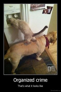 ***Siamese are this smart! :) Organized Crime - and some people say animals aren't smart