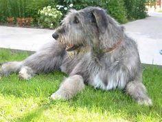 irish_wolfhound_puppies