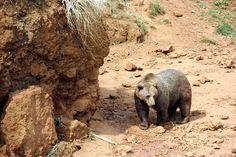 El turismo relacionado con la observación de los osos puede tener consecuencias directas, tanto de carácter positivo como negativo. Se pueden ver alterados su comportamiento, su fisiología y su ecología, según un estudio de la Unidad Mixta de Investigación en Biodiversidad (UMIB). Leer: http://laoropendolasostenible.blogspot.com.es/2017/01/el-ecoturismo-mal-regulado-estresa-los.html