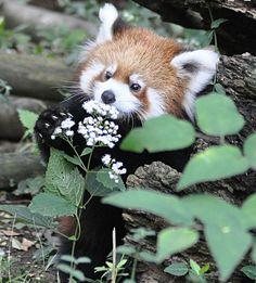 47 Ideas for nature animals panda Nature Animals, Animals And Pets, Wild Animals, Beautiful Creatures, Animals Beautiful, Photo Panda, Cute Baby Animals, Funny Animals, Red Panda Cute